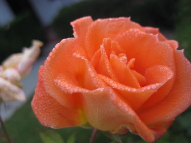 beautiful_rose_blossom